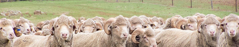 The Cranmore Ram
